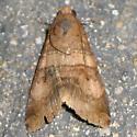 pale-band moth - top - Melipotis januaris - female