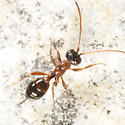 small wasp - Gelis - female