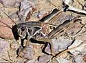 grasshopper Brachystola magna - Brachystola magna
