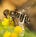 unknown bee fly - Villa