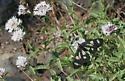 Gnophaela latipennis ? - Gnophaela latipennis