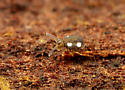 Collembola - Sminthurinus quadrimaculatus
