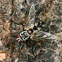 Tachnid Fly - Zelia - female