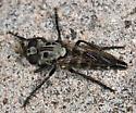 robberfly - Cyrtopogon evidens - female