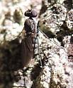 Long-necked Fly - Medetera