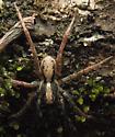 Wolf spider - Schizocosa sp. - Schizocosa