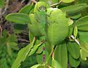 Great Pondhawk - Erythemis vesiculosa