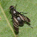 Picture-winged Fly - Tritoxa flexa