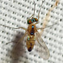Long-legged Fly - Amblypsilopus dorsalis - female