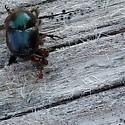 Beetle - Onthophagus