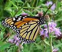 Monarch - Danaus plexippus - female