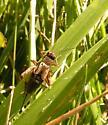Ground Cricket - Allonemobius fasciatus - female