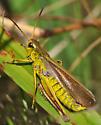 Graceful Sedge Grasshopper at home - Stethophyma gracilis - male