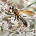 Unknown Wasp - Isodontia elegans