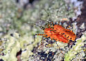 Tennessee (Orange)  Love Bugs maybe   Assassin Bug  - Pselliopus barberi - male - female