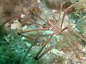 Yellowline Arrow Crab - Stenorhynchus seticornis
