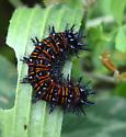 Euphydryas phaeton?