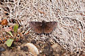 Small brown butterfly - Erynnis afranius - male