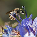 Tiny bee on Phacelia - Halictus tripartitus
