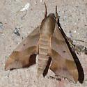 Moth 09.07.11 (1) - Darapsa myron