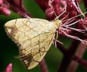 Small Moth - Evergestis pallidata