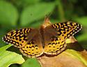 unidentified butterfly - Speyeria cybele - female
