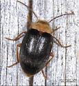 Coleoptera - Sacodes thoracica