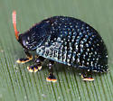 Hemisphaerota cyanea - Palmetto Tortoise Beetle - Hemisphaerota cyanea