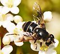 Eristalis dimidiata  - Eristalis saxorum - female
