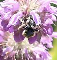 Anthidium on Monarda citriodora - Anthidium manicatum