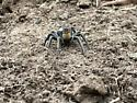 Burrowing Wolf Spider - Geolycosa