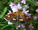 Day time flying on Thyme - Pyrausta orphisalis