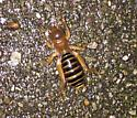 Is this a beetle? - Stenopelmatus