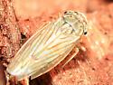Gray Lawn Leafhopper - Exitianus exitiosus