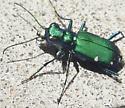 Tiger Beetle - Cicindela sexguttata