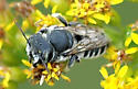 Bee A - unident - Megachile