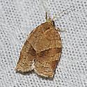 3634 – Choristoneura zapulata - Choristoneura rosaceana