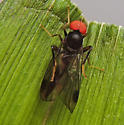 Syneches - Syneches thoracicus - female