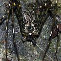 Lampshade Weaver Spider - Hypochilus pococki