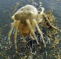 Barn spider? - Araneus cavaticus - female
