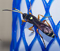 Yellow-banded ichneumon wasp - Ichneumon ambulatorius