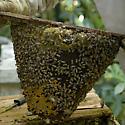 Top Bar hive - Apis mellifera