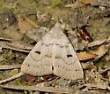 Mississippi Moth - Chytolita morbidalis