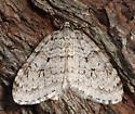 Autumnal Moth - Epirrita autumnata