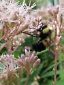 Bombus affinis - male