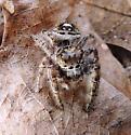 spider in an ant lion sandpit - Phidippus putnami