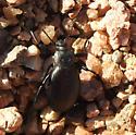 beetle - Eleodes hispilabris