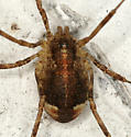 Harvestman - Paroligolophus agrestis