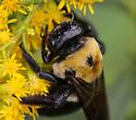 Large bee - Xylocopa virginica