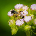 Genus Syritia - Syritta flaviventris - female